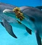 ❤ Dolphin Wisdom.  The Crystal Pod Speaks About Ascension, The Aquamarine Ray  And The Rise of The Atlantean Energies.  By, AuroRa Le.  May 14, 2012.