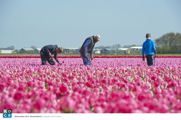 Picture: Rob Donders | Location: Noord - Holland - The Netherlands | Flower bulbs