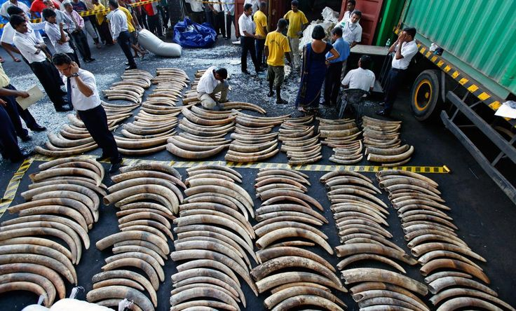 Sri Lanka will burn its ivory and pray for elephants affected.  Picture of Sri Lankan customs officials inspecting seized ivory