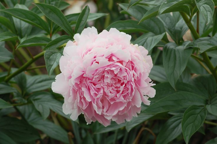 It's peony time in parts of New England (USA)! What makes the blooming period for peonies so special? Well, how about enormous flower heads that are incredibly fragrant? Learn all about the peony plant here: http://landscaping.about.com/od/perennialflowers/p/peony_plants.htm