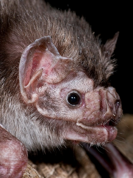 common vampire bat!