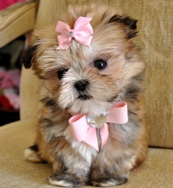 2034 Best Yorkies Images On Pinterest Baby Puppies