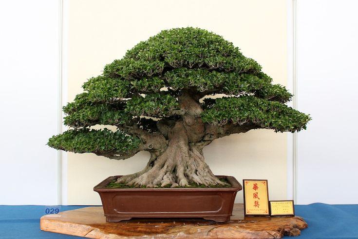 25 beautiful bonsai ficus ideas on pinterest ficus bonsai tree bonsai and bonsai forest. Black Bedroom Furniture Sets. Home Design Ideas