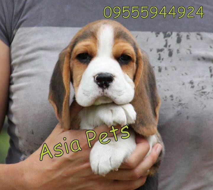 Beagle Puppy For Sale in Delhi, Beagle Breeders in Delhi