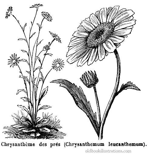 illustration showing an oxeye daisy  also known as the