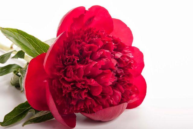 101 Bodas y más: PEONÍAS ROJAS: delicadeza y fuerza en una flor