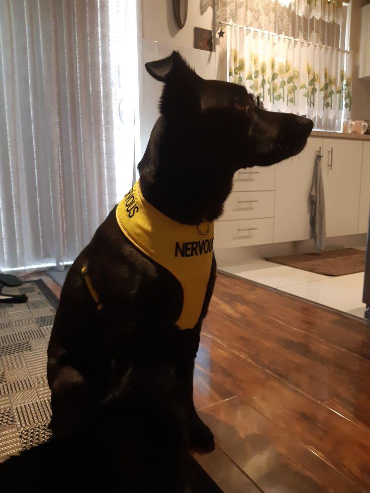 NERVOUS Large adjustable Vest Harness in 2020 Dog