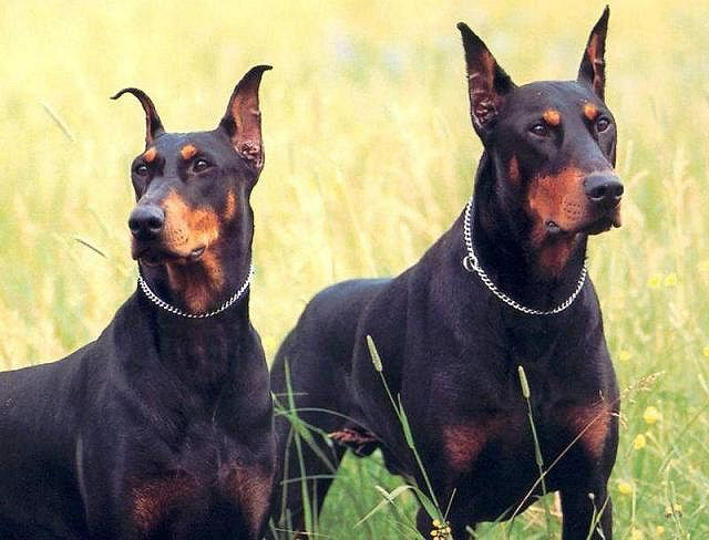 The Doberman Pinscher is a large working breed originally developed to be a loyal protector. Also used in military and law enforcement, these dogs are very wary of strangers. They are naturally protective and will courageously defend their owners from a perceived threat, so care must be taken when introducing them to strangers. In recent years, their temperaments have been bred to be softer and more sociable, although some family lines are still bred for their guarding abilities.