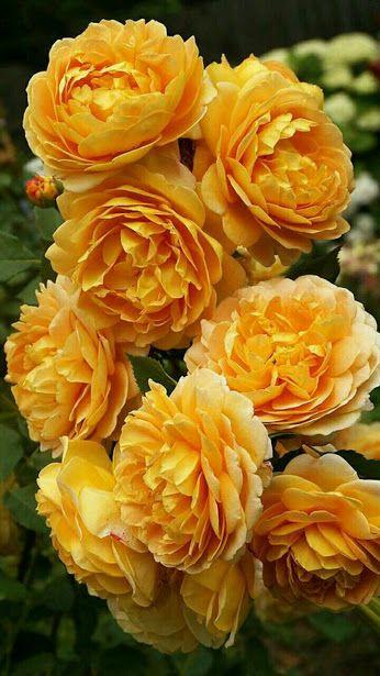 Beautiful gold Rose