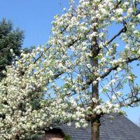 Pyrus calleryana Chanticleer, Sierpeer: Ideale boom voor te leiden: Vroege, uitbunidge bloei, mooie herfstverkleuring
