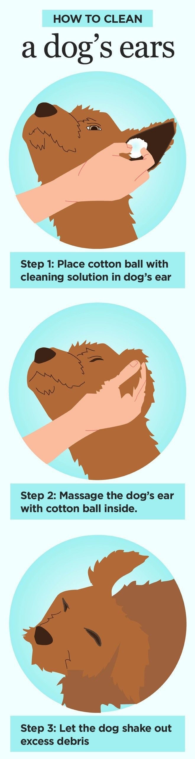Dogs, especially those with long ears belonging to breeds such as English Cocker Spaniel, Bloodhound, Basset Hound, Miniature Schnauzer and so on, are prone to the development of ear infections. There are various types of ear infections, but the ones with mites are the most frequent ones.In order to find ...