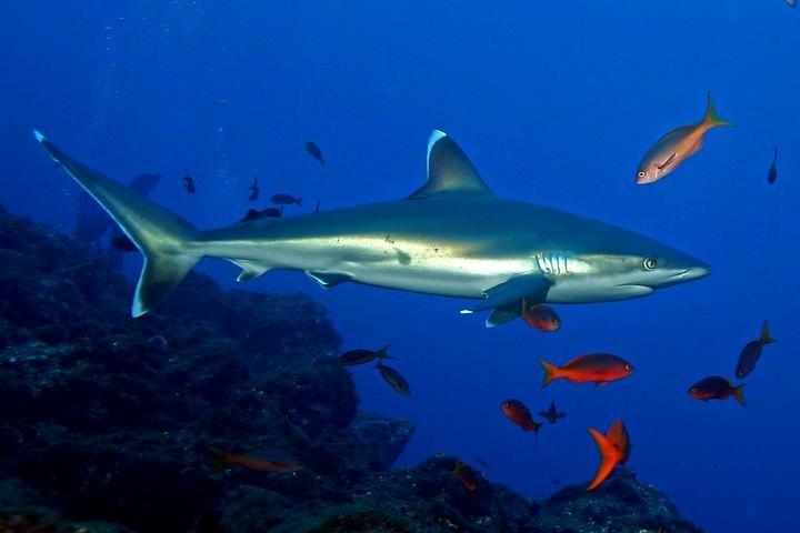 Silvertip Shark ≈ | Chondrichthyes | Pinterest