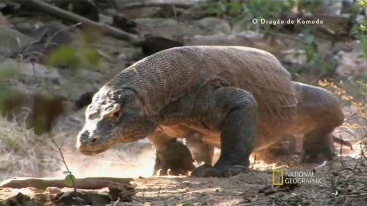 O Dragão De Komodo - Documentário National Geographic
