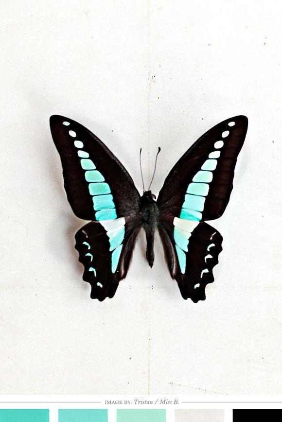black & blue butterfly