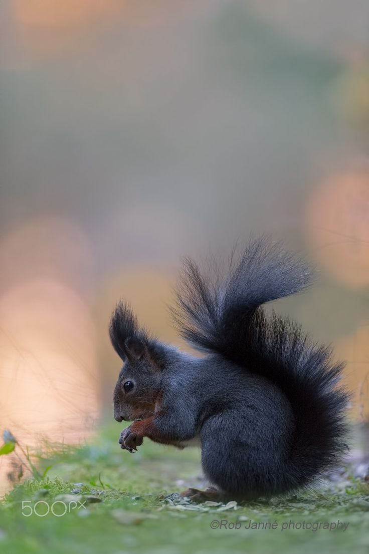 Meaning of white squirrel sighting - Beautiful Black Squirrel 500px Com