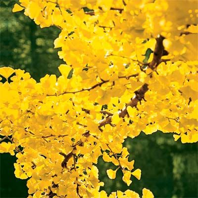The gingko tree puts on a spectacular yellow show in fall. With an umbrella shape and fan-shaped leaves, gingkos can grow up to 80 feet tall in zones 4-9. | Photo: Mark Turner | thisoldhouse.com