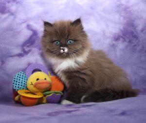 RagaMuffin_kittens