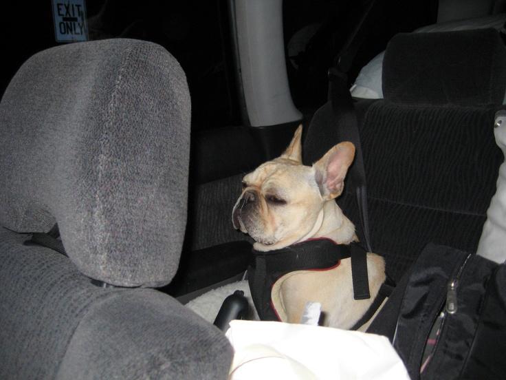 Grumpy Car Frenchie..haha so cute