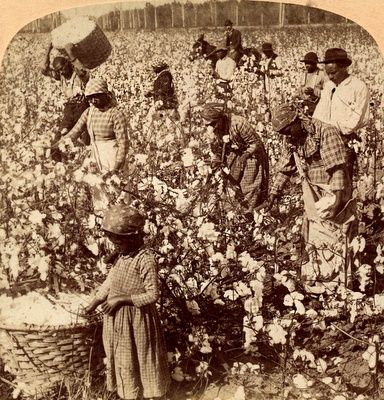 Picking Cotton... plantation scene in Georgia, USA.