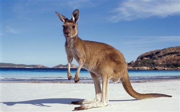 Daniel was pleased to see kangaroos relaxing on the beach on his travels around Western Australia.