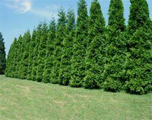 Thuja Green Giant Evergreen Trees for Sale | Fast Growing Trees