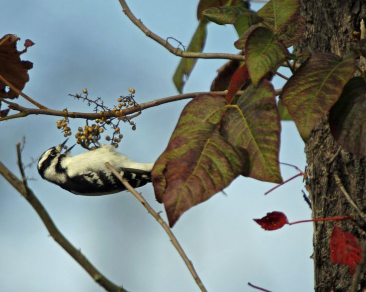184. Downey Woodpecker and Poison Ivy  Cuyahoga Valley National Park