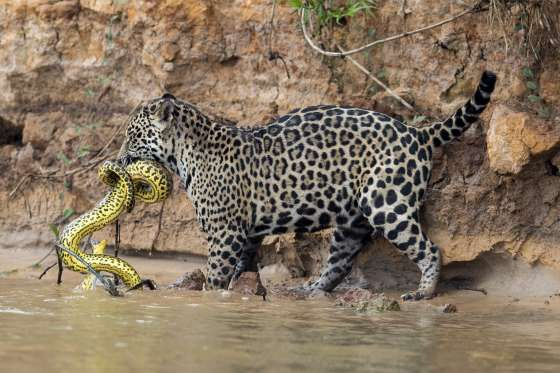 A Jaguar In The Brazilian Pantanal Hunts An Anaconda - Chris Brunskill Ltd/Getty Images