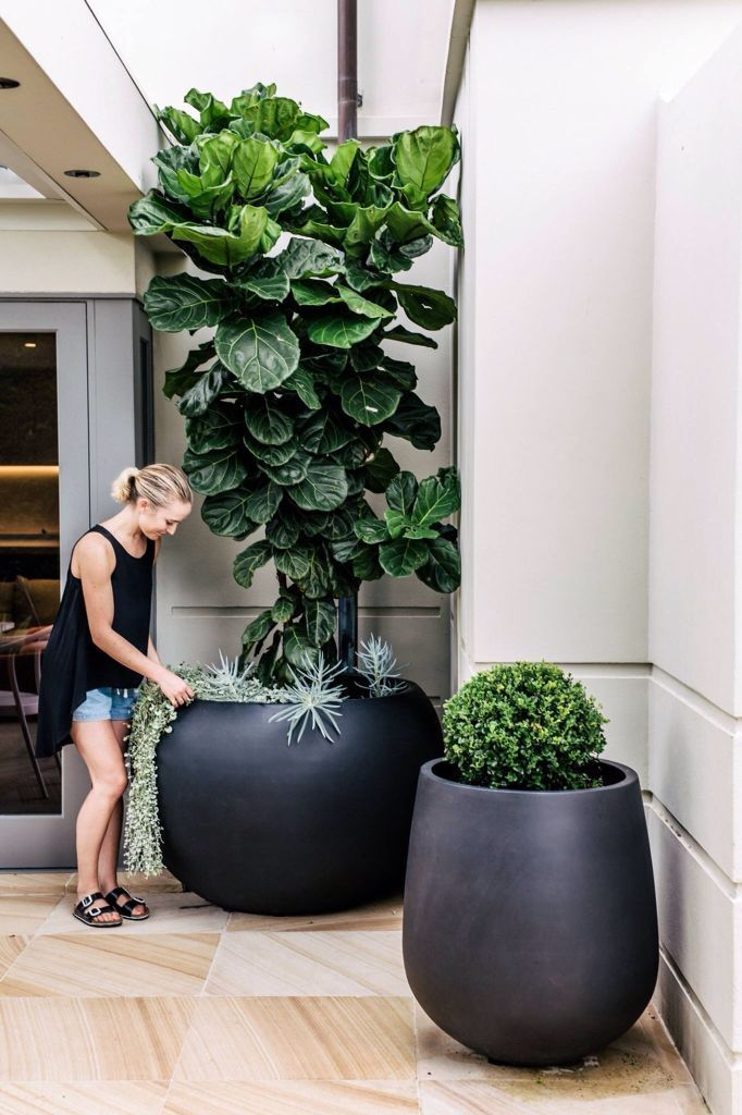 Huge planters and huge fiddle leaf fig tree.