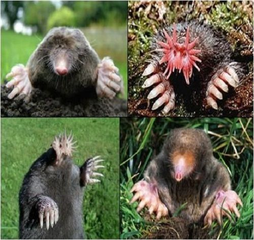 Remove Moles from your garden immediately | Shared by ...