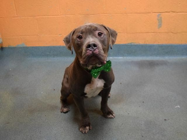 ONEAL -  A1100317 - - Brooklyn  Please Share:TO BE DESTROYED 01/03/17 **AVERAGE RATED & ON PUBLIC LIST!** -  Click for info & Current Status: http://nycdogs.urgentpodr.org/oneal-a1100317/