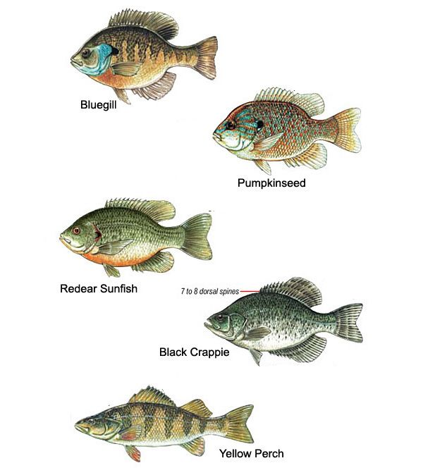 227 best bluegill images on pinterest fishing fishing for Crappie fish facts