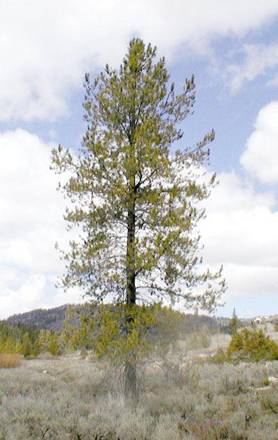 Lodgepole Pine | Lodgepole Pine - Forestry - forestry.usu.edu