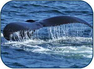 whale watching in Ucluelet