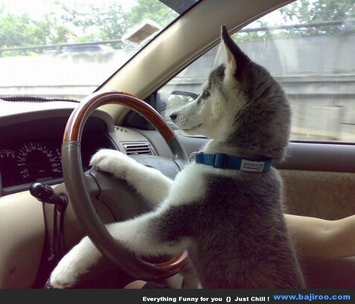 cat driving with word funny animals driving husky funny. Black Bedroom Furniture Sets. Home Design Ideas