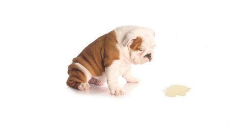 Eliminar olor a orina de perro