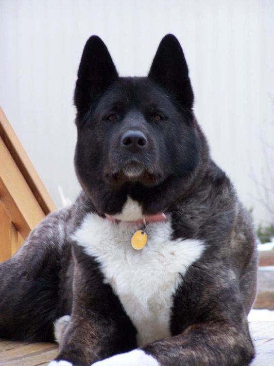 Akita. Wow! This is a striking Akita... Perfect... #dog #akita #animal: Akita Dogs, Akita Duke, Akita Inu, Adult Akita, Akita Perfect, Akita S, Akita Oooh, Akita Animal, American Akita