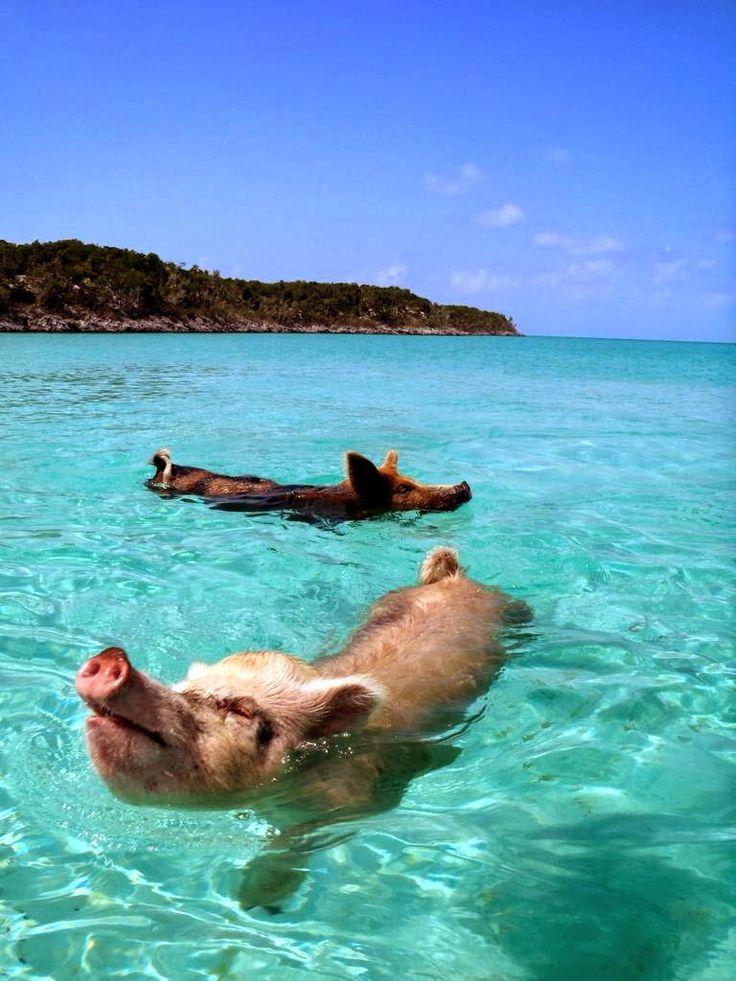 cochons nageurs des bahamas 3   Les cochons nageurs des Bahamas   porc photo natation nageur image ile cochon bahamas