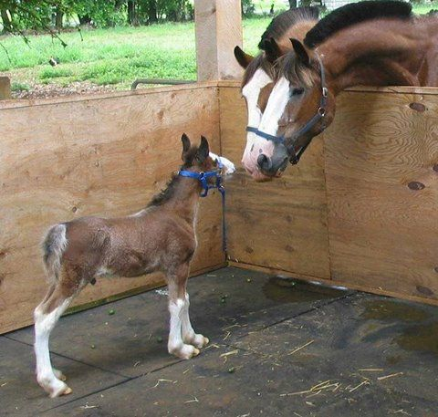 A baby Clydesdale getting some advice from the elders
