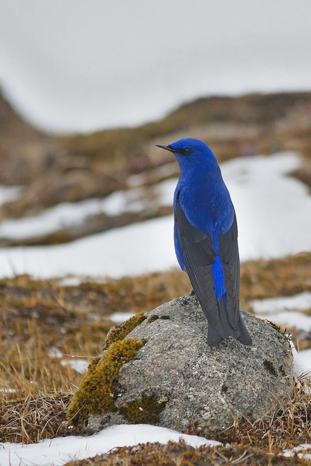 Grandala Bird