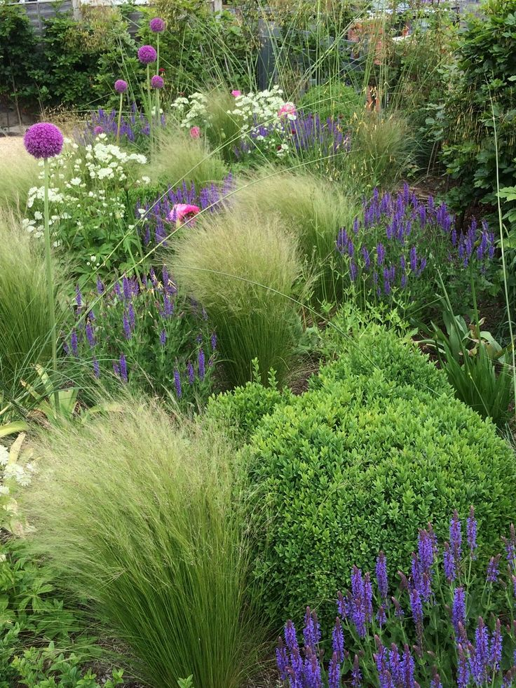 Great planting combinations-Stipa tennuisima, Buxus Sempervirens , Salvia nemorosa, Stipa giganteum, Allium Purple Sensation and Astrantia.