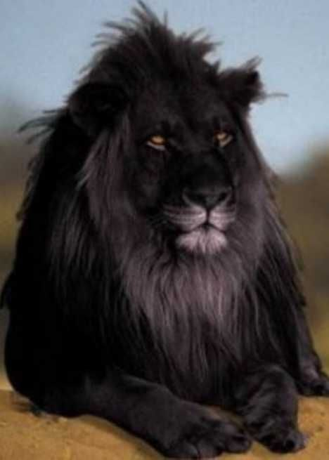 - * Lion * - Panthera leo : This individual is an example of a creature with melanism; the opposite of albimism -