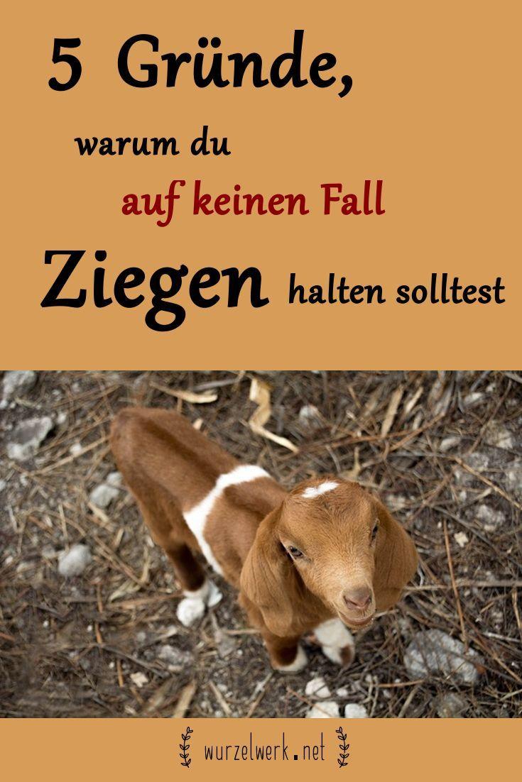 5 Grunde Warum Du Auf Keinen Fall Ziegen Halten Solltest Ziege Bauernhof Tiere Ziegenstall