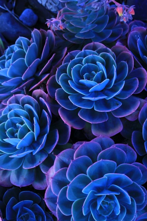 bright blue succulents