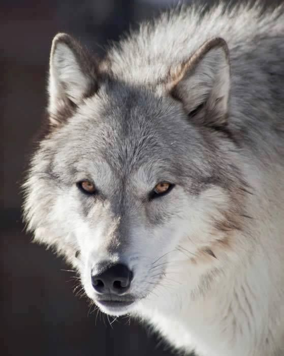 Via https://www.facebook.com/pages/Le-LoupUn-Animal-fascinant-ღღღ/457101727667543카지노바카라 MD414.COM 카지노바카라 카지노바카라카지노바카라 카지노바카라