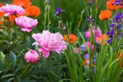 Bloeiende roze pioenrozen, irissen en papavers in tuin Stockfoto