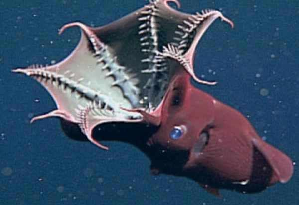 The vampire squid (Vampyroteuthis infernalis, literally: vampire squid from Hell) is actually more beautiful than hellish, I think. This squid does not live at the same depths as the number one entry on this list, but at 600-900 metres, it still dwells a long way down as far as squid are concerned.