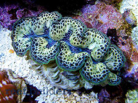 Tridacna 'maxea': New giant clam hybrid of Tridacna maxima x T. crocea