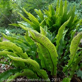 Asplenium scolopendrium. Hart's Tongue Fern. Partial to full shade, moist soil.