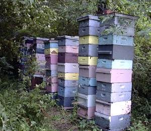 How to raise honey bee's.   I really pinned this because I want to paint my honey super purple. Bees like blue shades