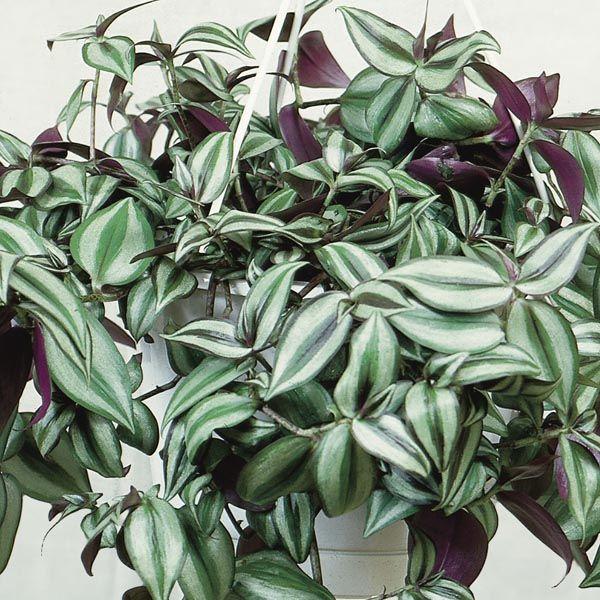 33 Best Wandering Jew Images On Pinterest Indoor Plants